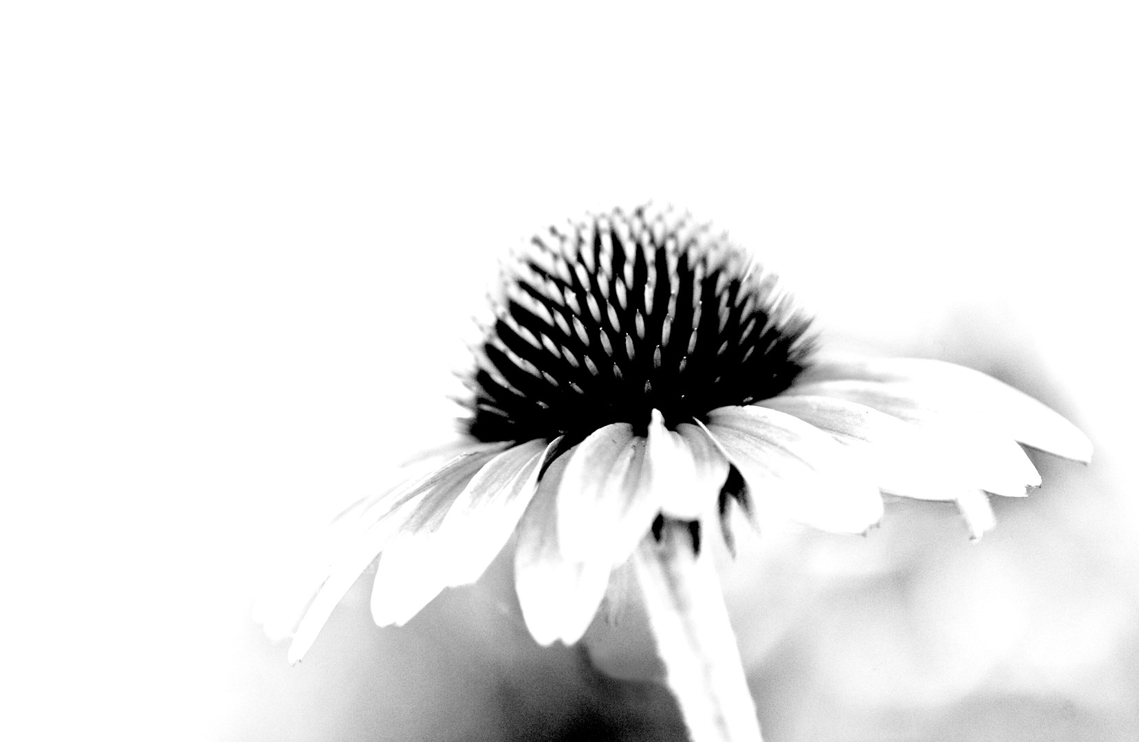 horiz_black and White of coneflower