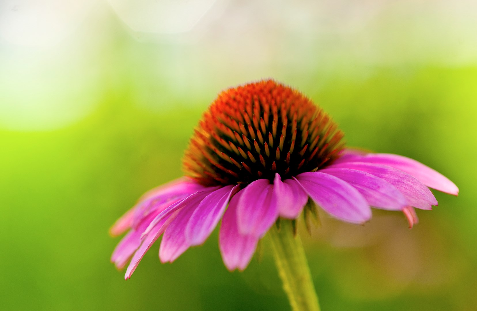 horiz_color of coneflower
