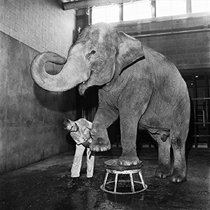 Photo of Bunny the elephant, with hind legs up, one on a stool, the other being steadied by technician who is working on that foot.