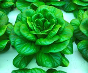 Lettuce grown in aquaponics system