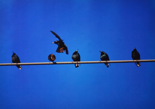 picture of birds on a powerline